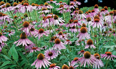 Purple Coneflower, Retirement Tips